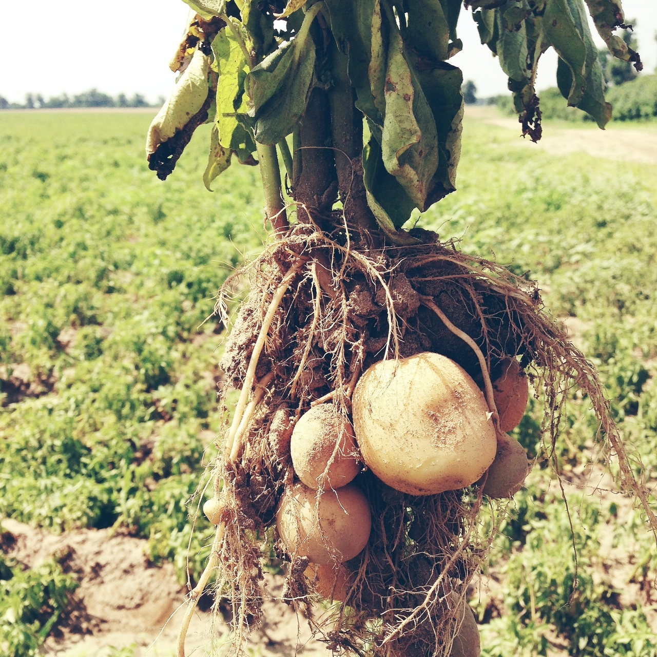Black Gold Farm Potatoes