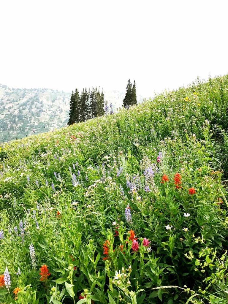 Albion Basic Wildflower Alta Utah foodiecrush.com